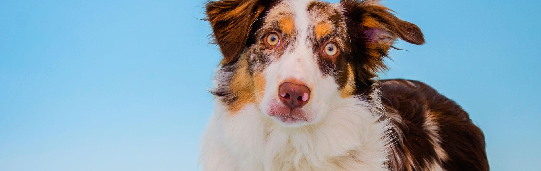 Besmettelijke Hondenhoest (bronchitis) bij honden