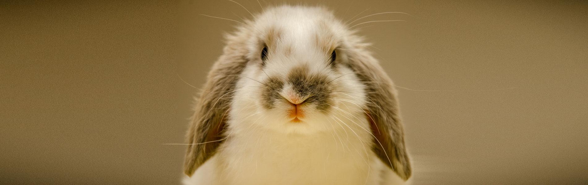 Info over operaties bij konijnen en knaagdieren